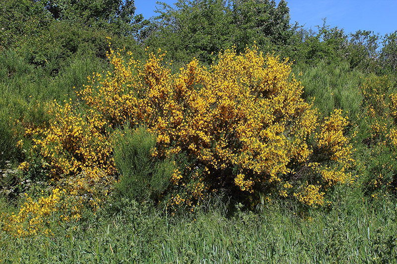 Cytisus scoparius (L.) Link ssp. scoparius