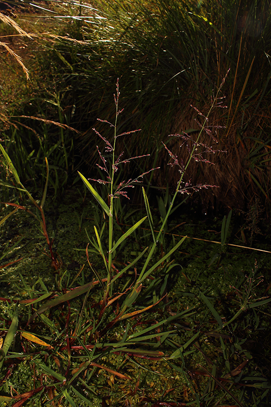 Catabrosa aquatica (L.) Beauv. (Poaceae (= Gramineae))