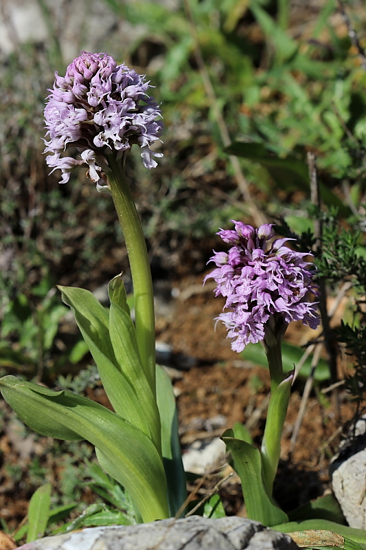 Orchis conica Willd. (Orchidaceae)