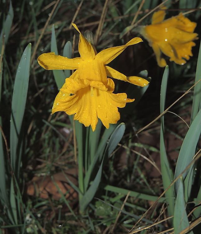 Narcissus confusus Pugsley